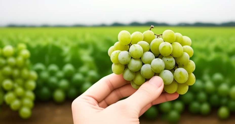 Les raisins sont efficaces contre les rayons ultraviolets
