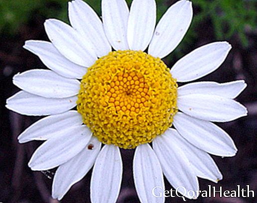 The prodigious chamomile heals and beautifies