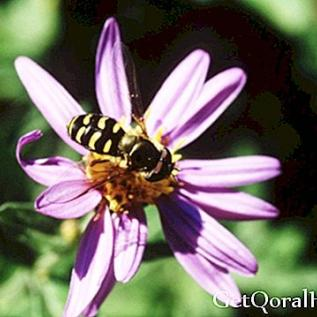 Propolis, ein erstaunliches natürliches Antibiotikum