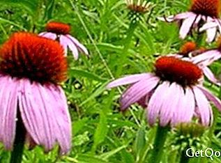 Echinacea is not used to treat colds